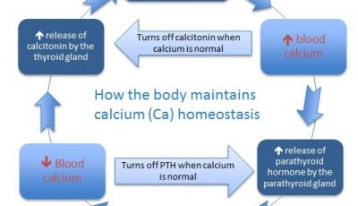 How the Body Maintains Calcium Levels